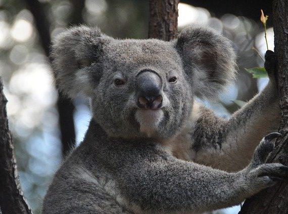 オーストラリアでの大規模な森林火災で、10億匹もの野生動物が犠牲になっています…